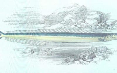 I cicciarelli di Noli: un pesce dimenticato